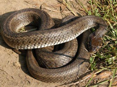 odchyt hada